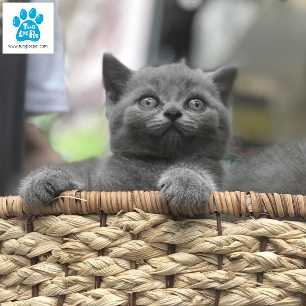 Mèo anh lông ngắn Tùng Lộc Pet