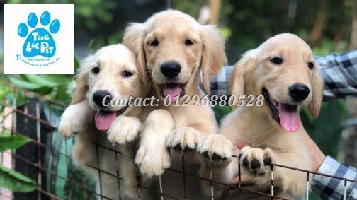 Golden Tung Lộc Pet