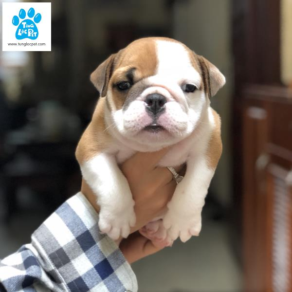 Bulldog Tùng Lộc Pet