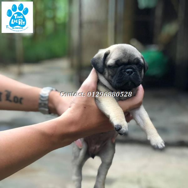 Chó Pug - Tùng Lộc Pet
