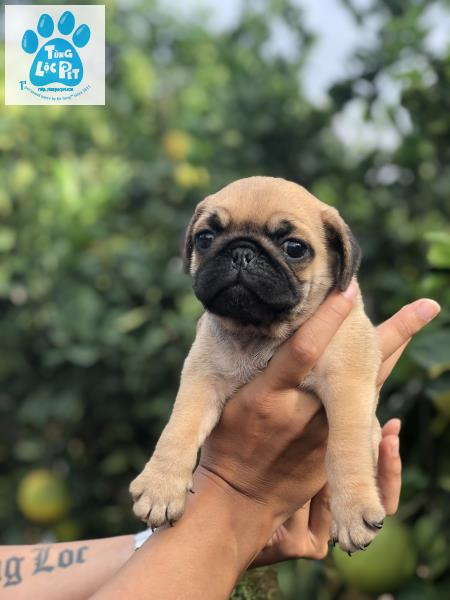 Chó pug mini