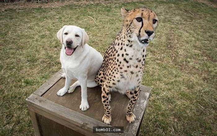Chó Labrador và báo nhỏ