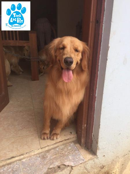 golden retriever đực