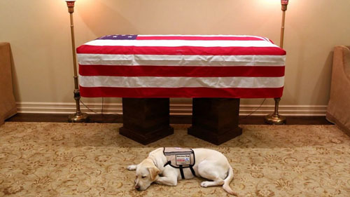 chó Labrador tổng thống Bush cha