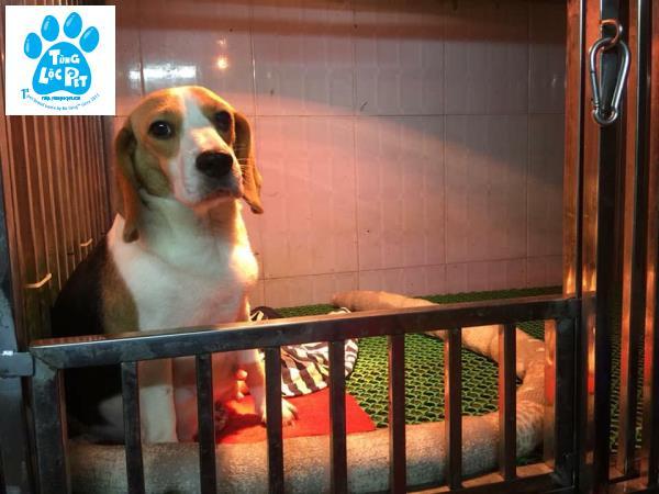beagle cái nhập thái