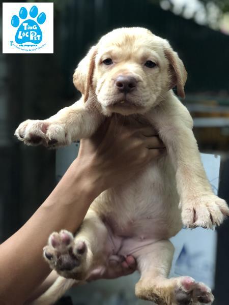 chó Labrador
