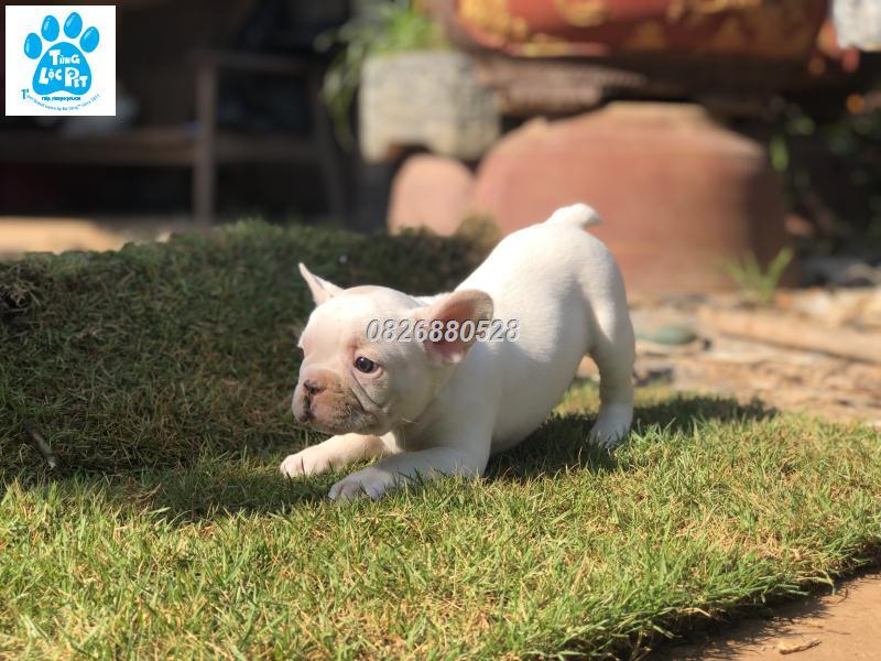 chó bulldog pháp tháng 10 đực trắng
