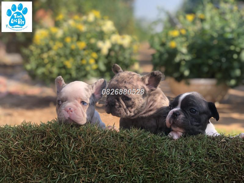 Chó bulldog pháp màu merle tháng 10