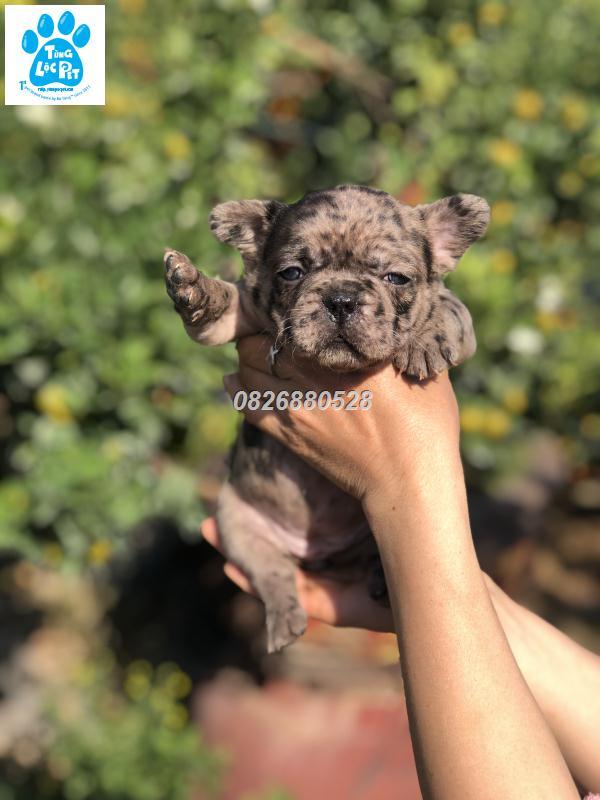 merle frenchies bulldog