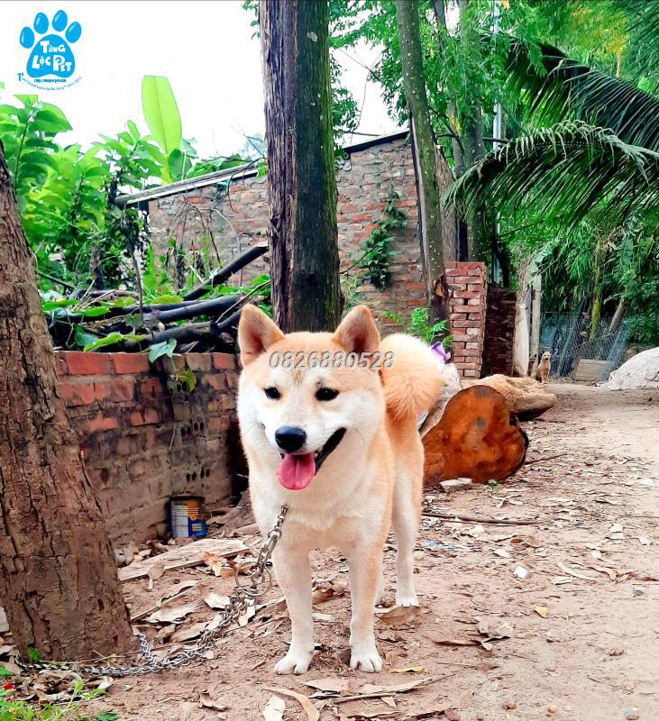 phối giống chó Shiba nhập ngoại