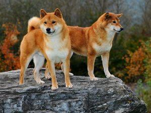 phối giống chó shiba inu nhập ngoại