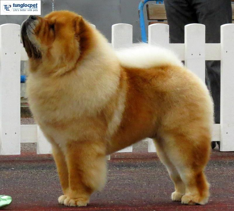 Chow chow in chan thang