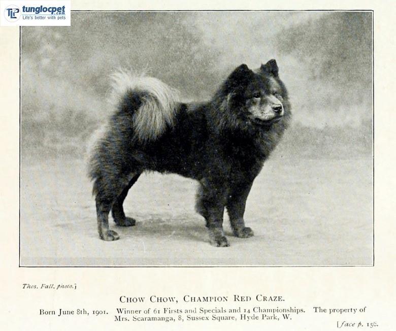chow chow 1900