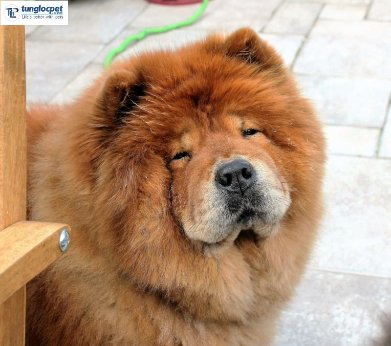 chow chow long 2 lop day
