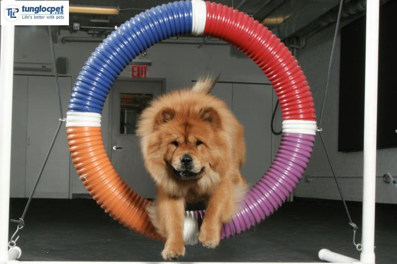 chow chow trong cuoc thi