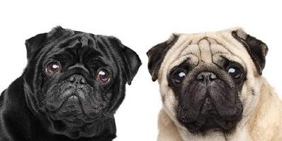 chó Pug thuần chủng
