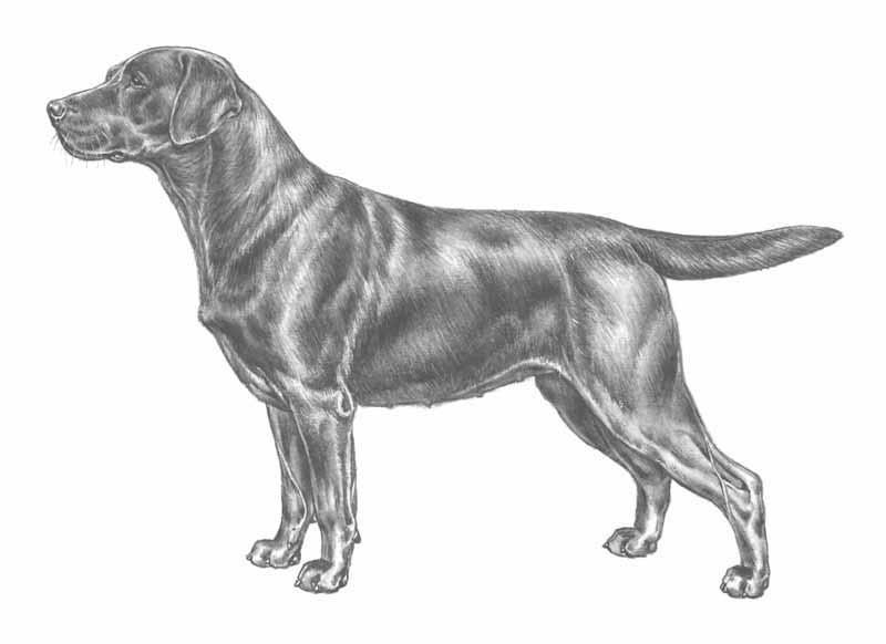 tiêu chuẩn chó Labrador thuần chủng của FCI