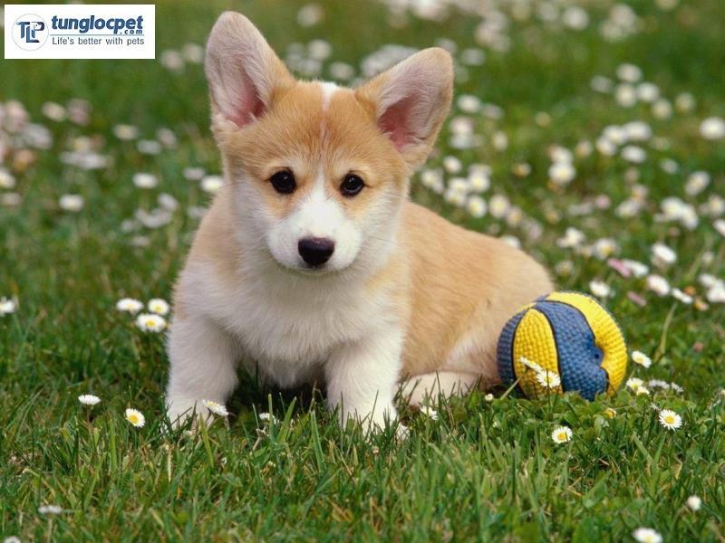 Chó Corgi giá khoảng 13-16 triệu đồng với bé có giấy tờ đầy đủ