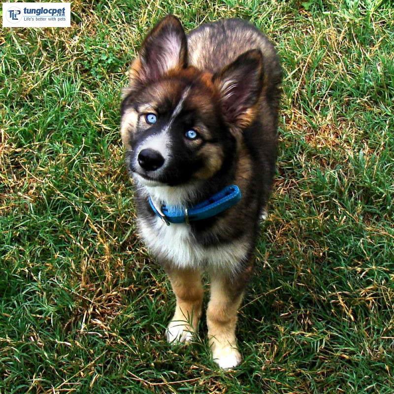 Chó Border Collie lai với Husky