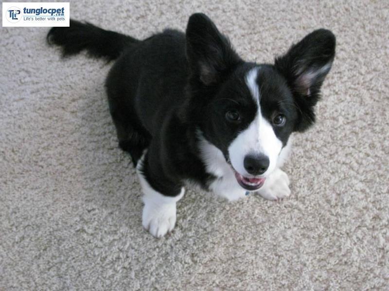 Chó Border Collie lai với chó Corgi