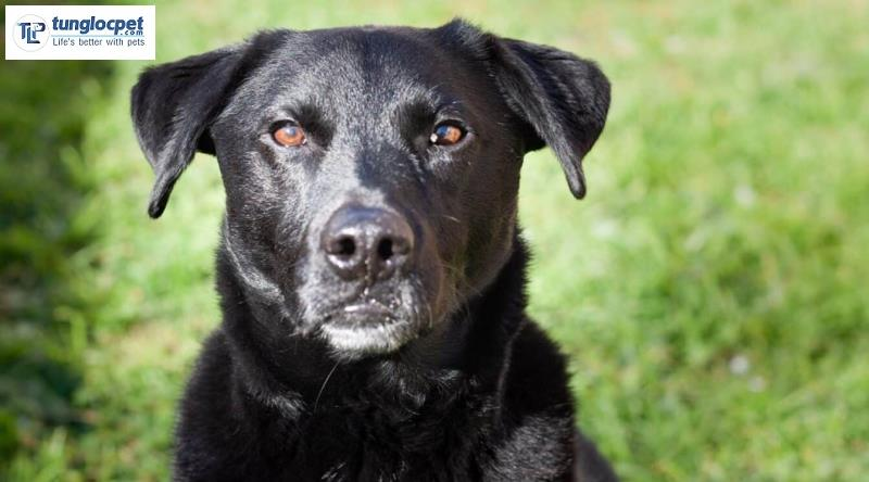 Chó Border Collie lai với Labrado