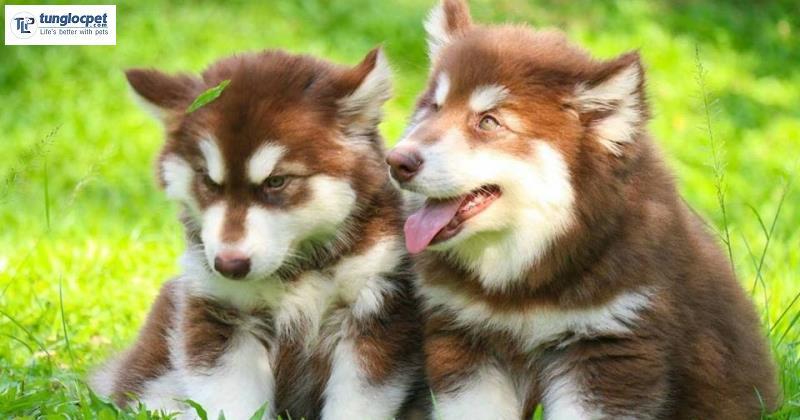 Alaska chó con đẹp