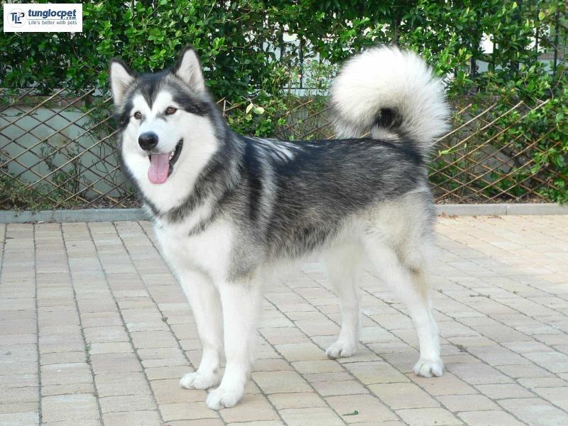 Tiêu chí chọn chó Alaska đẹp đạt chuẩn