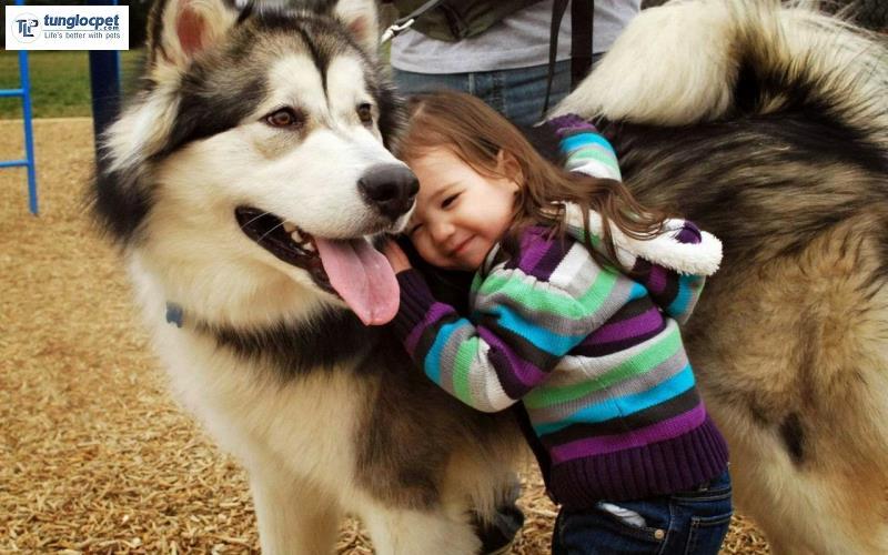 Chó Alaska đẹp không chỉ ở ngoại hình mà còn ở cả tính cách