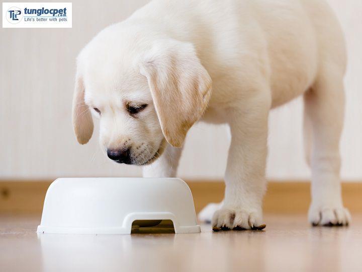 Bạn có thể chó Labrador ăn thức ăn khô (các loại hạt, ngũ cốc) hay thức ăn tươi (đồ tự nấu)