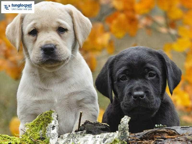 Môi trường sống của chó Labrador con phải thông thoáng, sạch sẽ và thoái mái