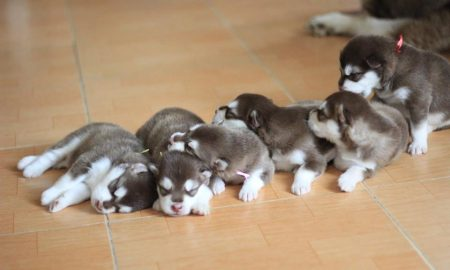 Tùng Lộc Pet: Giá chó Alaska, Đốm, Cocker tháng 9/2013