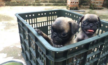 Tùng Lộc Pet – Chào bán đàn Pug tháng 5/2015