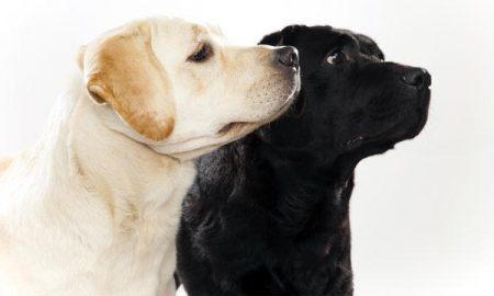 Tùng Lộc Pet – Labrador Retriever