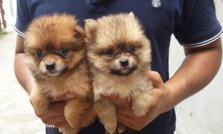 Tùng Lộc Pet – Bán bé Phốc Sóc – Pomeranian (đực) cuối cùng