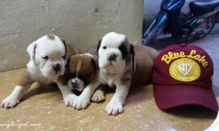 Tùng Lộc Pet – Bán đàn chó Bulldog tháng 9/2014