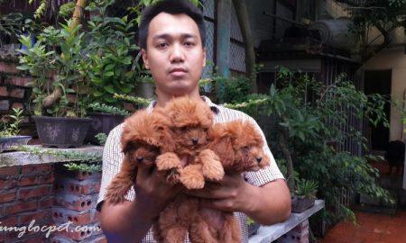Tùng Lộc Pet – Báo giá chó Toy Poodle và Pomeranian (Phốc sóc) tháng 9/2014