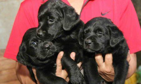 Tùng Lộc Pet – Chào bán đàn chó Labrador Retriever màu đen