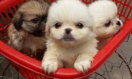 Tùng Lộc Pet – Chào bán đàn Bắc Kinh tháng 4/2015
