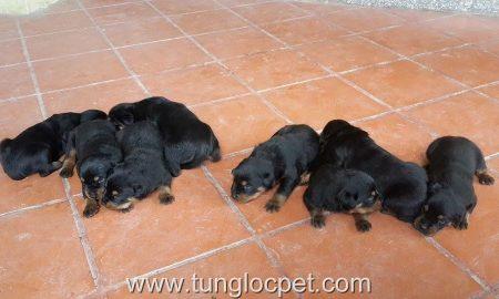 Tùng Lộc Pet – Nhận đặt và bán đàn Rottweiler xuất chuồng tháng 6/2015