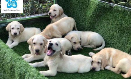 Tùng Lộc Pet – Chào bán đàn chó Labrador Retierver tháng 5