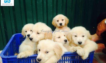 Tùng Lộc Pet – Chào bán đàn chó Golden Retriever 7 bé xuất chuồng tháng 12/2015