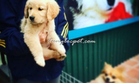 Tùng Lộc Pet – Hình ảnh đàn chó Golden Retriever đã bán trong dịp Tết Nguyên Đán – Bính Thân 2016
