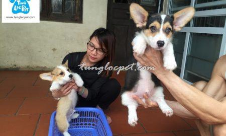 Tùng Lộc Pet – Bán đàn chó Pembroke Welsh Corgi sinh tại Hà Nội