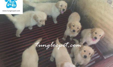 Tùng Lộc Pet – Chào bán đàn chó Golden Retriver tháng 8/2016