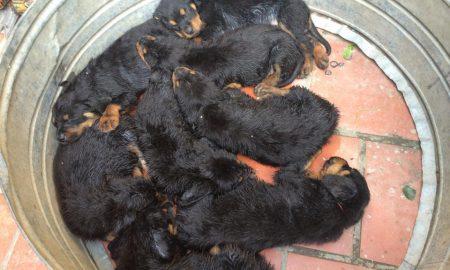 Tùng Lộc Pet – Xuất chuồng đàn chó Rottweiler khủng tháng 4/2015