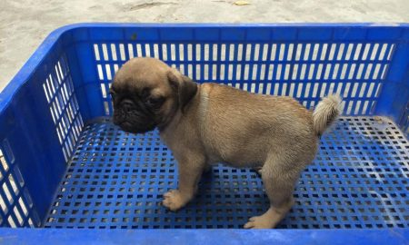 Tùng Lộc Pet – Xuất chuồng thành công đàn Pug vào tháng 5/2015