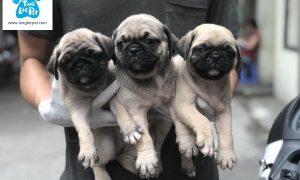 Tùng Lộc Pet – Chào bán đàn chó Pug đáng yêu tháng 6.