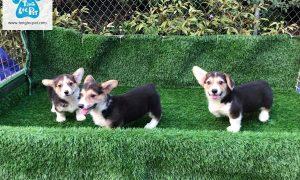 Tùng Lộc Pet – Bán đàn chó Corgi full giấy VKA tháng 4 năm 2018