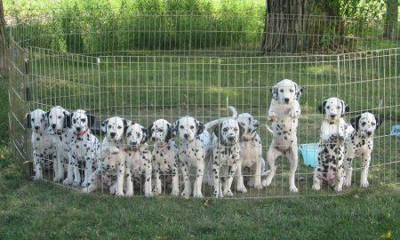 Tùng Lộc Pet: Báo giá chó Pug và chó Đốm tháng 01/2014