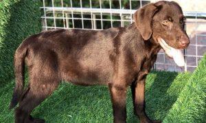 Tùng Lôc Pet – Chào bán bé chó Labrador nâu cái cuối trong đàn.